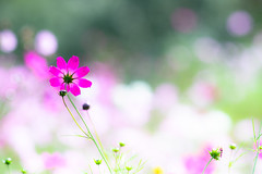 beyond the clouds (hitohira_) Tags: flower flowers nature bokeh cosmos