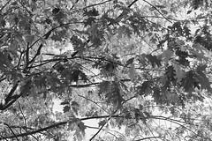 autunno giallo (giovannazorzenon) Tags: autunno stagione bianconero foglie albero allaperto