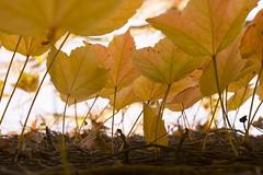 weinrebenblätter im herbst (mwo_w_GERMANY) Tags: mario wolff mwoaqwode wwwaqwocom wwwaqwode aqwocom aqwode herbst blätter autumn automne