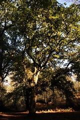 Oak tree on St Martha's Hill, Surrey 1 (Leimenide) Tags: oak tree england st marthas hill surrey north downs way wood forest autumn