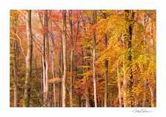 Autumn Backdrop (George-Edwards) Tags: autumn savernake forest woods woodland trees leaves fall colour beech sunrise morning dawn mist sun light sunlight beams rays daybreak outdoor scenic countryside nature rural seasons shadow marlborough wiltshire england northwessexdowns georgeedwards