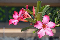 Desert Rose (Adenium obesum) (Seventh Heaven Photography - (Flora)) Tags: flower flora bloom nikon d3200 desert rose adenium obesum pink