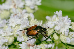 2017 Japanese Beetle (Popilla japonica) 3 (DrLensCap) Tags: japanese beetle popilla japonica weber spur trail labagh woods chicago illinois abandoned union pacific railroad right way il bug insect rails to trails cook county forest preserve district preserves robert kramer