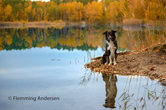 Waiting (Flemming Andersen) Tags: leaves bordercollie yatzy hund autumn pet nature water dog colors outdoor lake reflection orange animal