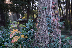 Ivy (odeleapple) Tags: nikon d810 carl zeiss planar 50mm ivy tree colored leaf