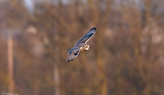 SEO hunting at dusk (Steve (Hooky) Waddingham) Tags: animal countryside bird british voles mice dusk wild wildlife hunting prey owl