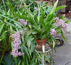 Oncidium sotoanum species orchid 11-18 (nolehace) Tags: oncidium sotoanum species orchid 1118 fragrant fall nolehace sanfranciso fz1000 flower bloom plant