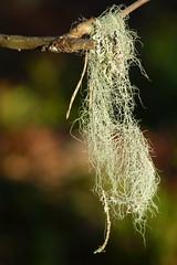 Skägglav (evisdotter) Tags: skägglav usneadasypoga lichen lav nature light macro bokeh sooc