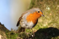 0M2A0881 Robin (kevin_livesey) Tags: robin bird leighton moss rspb nature wildlife birdwatching