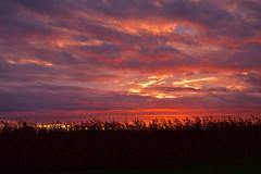 sunrise (markburkhardt) Tags: sunrise cor field country fall color corn morning