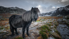 Mountain sweetheart...x (Einir Wyn Leigh) Tags: pony feral mountains rural outside love winter valley snowdonia happy nature wales animal