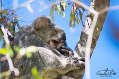 Tired Koala (Theo Crazzolara) Tags: australia queensland magneticisland magnetic island townsville nature natural vacation highlight traveling journey sleepy sleeping koala koalabear bear animal mammal cute sweet wild wildlife