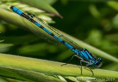 damselfly....Azure Damselfly (Male)  probably (keithhull) Tags: insect damselfly blue small northcavewetlands eastyorkshire azuredamselfly