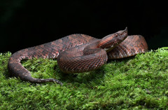 Hog-nosed Pitviper (ashockenberry) Tags: snake venomous wilderness nature photography forest jungle costa rica ashley hockenberry serpent reptile tropical rainforest photo herpetology beauty coiled