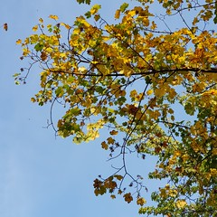 Fall colors under blue sky (porrounum) Tags: autumn fall colors sky blue foliage leaves