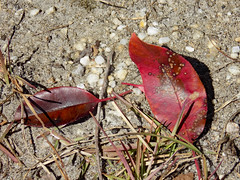 Fallen Red Leaves. (dccradio) Tags: lumberton nc northcarolina robesoncounty outdoor outdoors outside february winter afternoon saturday saturdayafternoon goodafternoon nikon coolpix l340 bridgecamera fallen leaf leaves ground grass