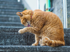 Cat of Enoshima (Yorkey&Rin) Tags: 2019 animal cat em5markii enoshima fujisawa january japan kanagawa olympus olympusm45mmf18 p1240053 rin winter 一月 江の島 冬 藤沢市 猫