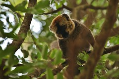 IMG_2535 (Kalina1966) Tags: madagascar berenty animals lemur