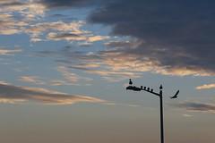 The Early Shift (gpa.1001) Tags: california sandiego missionbeach seagulls pigeons sunrise