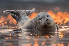 Harbor Seal (tompost) Tags: harborseal pacificgrove california mammal sunrise nature