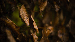 Brown Leaves (Max_Downie) Tags: brown leave leaves rain autumn decay nature natural dewdrops helios ussr vintage old sony sonya7ii