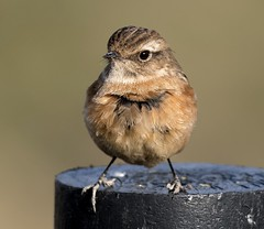 Stonechat (ftm599) Tags: portraitphotography teeside naturephotography wildlifephotography nikonphotography perch photography nikon nature wildlife wild portrait perchingbird birds bird stonechats stonechat