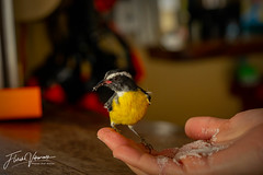 Handfeeding a sugarthieve