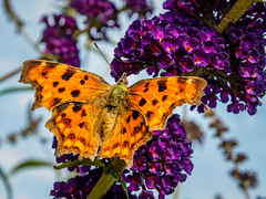Comma butterfly (Marc Rauw.) Tags: butterfly insect gehakkeldeaurelia aurelia orange spotted comma polygoniacalbum polygonia nature garden summer purple butterflybush flower flowers fauna flora microfourthirds m43 μ43 olympusomdem5markii olympus em5 omd mzuikodigital1250mm mzuiko 1250mm macro netherlands colorful colours colourful colors
