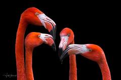 meeting 2 (Wolf Ademeit) Tags: flamingo bird water orange head zoo wildlife wolfademeit sony sigma