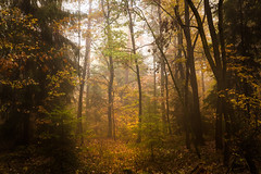 Fog obsession (Petr Sýkora) Tags: les mlha podzim nature trees forest fog golden atmosphere