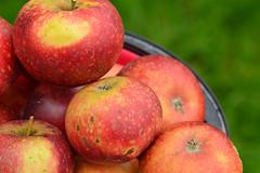 Apples - Ingrid Marie (Thomas Roland) Tags: ingrid marie æble apple apples red rød fruit frugt sjælland zealand denmark danmark dänemark efterår autumn herbst 2018 nikon d7000 europa outdoor home garden have