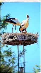 STORK NEST (@ tameristan) Tags: stork nest spring animals tameristan nikoncoolpixa900 izmirdeyasam blue sky nature