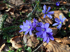 Die blaue Zeit im Wald (Helmut Reichelt) Tags: zeit blau leberblümchen blume frühling märz wald geretsried oberbayern bavaria deutschland germany iphonese colorefexpro4