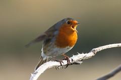 Robin (Dougie Edmond) Tags: prestwick scotland unitedkingdom gb birds nature wildlife water