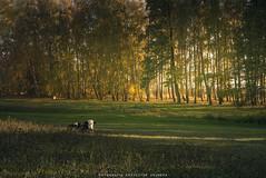 Happy Polish cow (krzysztofdejneka) Tags: cow forest polish podlaskie podlasie trees grass calam