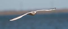 Riverside BH Gull flying