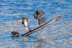 Bathing sparrows (andymulhearn) Tags: sparrow apexpark fujinonxf100400mmf4556rlmoiswr xt2 burnhamonsea fuji