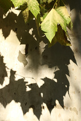 Shadows (gripspix) Tags: 20180927 france frankreich burgund bourgogne burgundy chalonsursaône planetree platane platanusacerifolia leaves blätter shadow schatten bark rinde