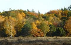 Autumn colours (EvelienNL) Tags: landscape tree trees heathland autumn fall landschap boom bomen hei heide heideveld herfst najaar leaves leafs herfstkleuren herfstblad herfstbladeren forest bos colours oudgroevenbeek putten ermelo dutch holland netherlands groevenbeekseheide