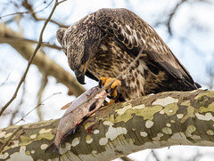 7K8A3217 (rpealit) Tags: scenery wildlife nature conowingo dam susquehanna river maryland immature bald eagle eating fish bird