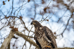 7K8A3206 (rpealit) Tags: scenery wildlife nature conowingo dam susquehanna river maryland immature bald eagle eating fish bird