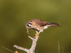 Kestrel swallows the lizard (charlescpan) Tags: