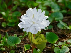 Double bloodroot last spring (lovesdahlias 1) Tags: doublebloodroot flowers blossoms gardens nature spring newengland
