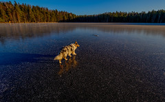 Sipoonkorpi National Park, Finland. (Esa Suomaa) Tags: esasuomaa nationalparks finland suomi autumn winter ice lake sjöar collie roughcollie bluemerle jää lampi olympusomd