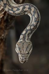 Murray-Darling Carpet Python (Morelia spilota metcalfei) (Jules Farquhar.) Tags: murraydarlingcarpetpython moreliaspilotametcalfei morelia murrayriver carpetpython python pythonidae snake mallee victorianwildlife moreliaspilota
