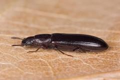 Boros schneideri (NakaRB) Tags: 2017 insecta coleoptera boridae borosschneideri