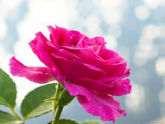 pink rose (Christine_S.) Tags: rose pink nature garden japan olympus sunlight bokeh