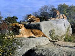 Kibo et les lionnes (Raymonde Contensous) Tags: lionnes lions kibo animaux nature parczoologiquedeparis zoodevincennes félidés grandsfélins