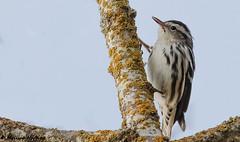 Record shot of Black-and-White Warbler (Mniotilta varia) - Vancouver, BC (bcbirdergirl) Tags: vancouver bc baww blackandwhitewarbler rarity warbler rarewarbler metrovancouverbird319 metrovancouverbird 319 mniotiltavaria passerine recordshot record