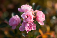 "Rosa ""The Fairy"" (Francis Mansell) Tags: rose flower plant kew kewgardens royalbotanicgardenskew macro petal dof blur bokeh depthoffield"